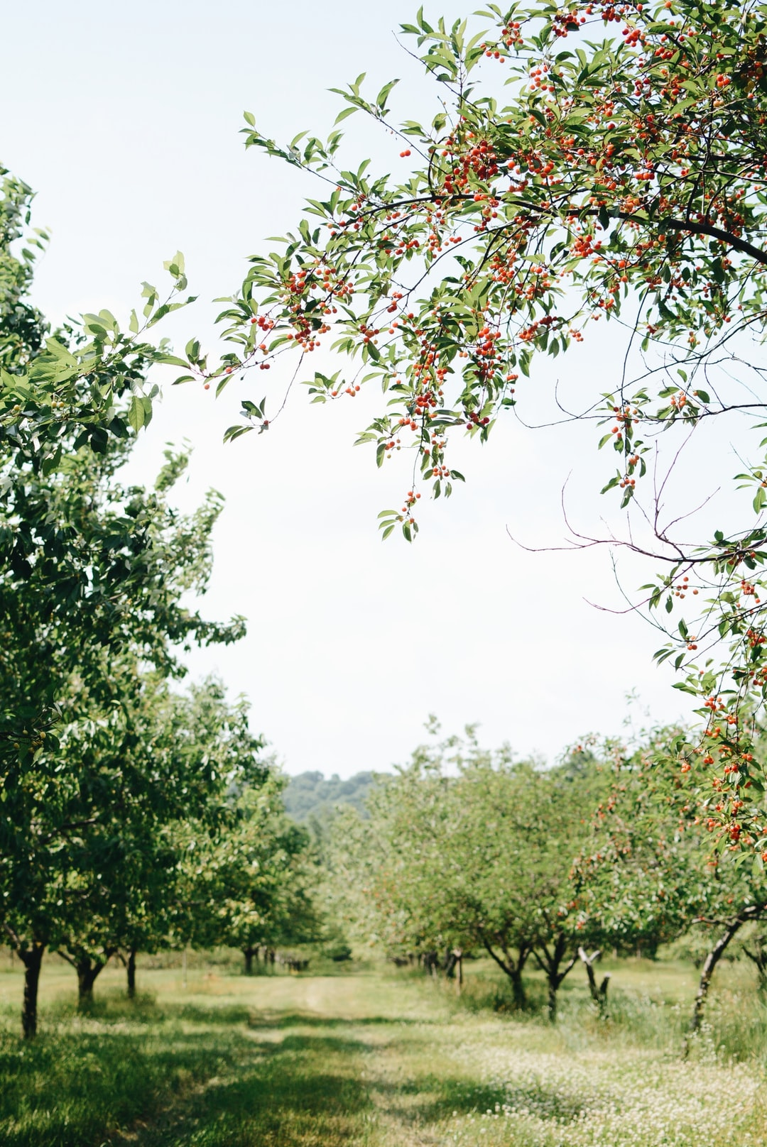 Empire Cherry Orchard