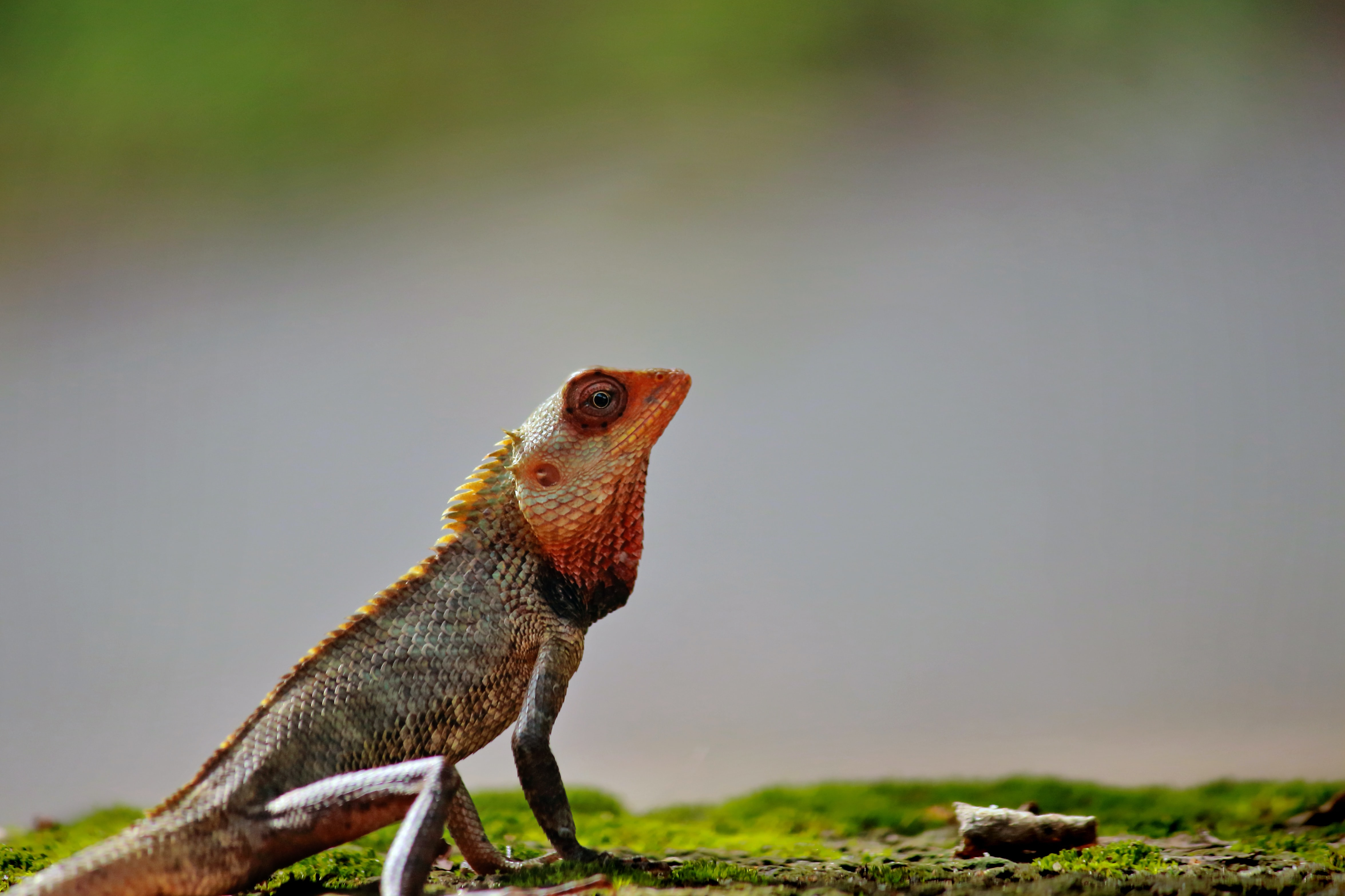 shallow focus photography of bearded dragon