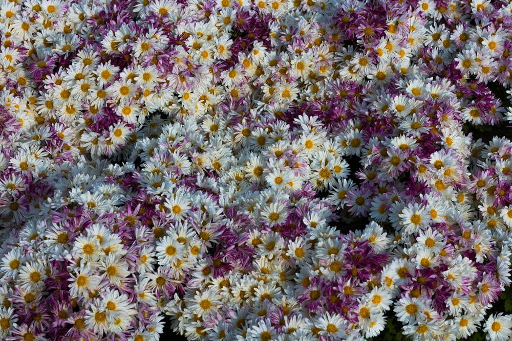 white daisy flower bed eagle eye view