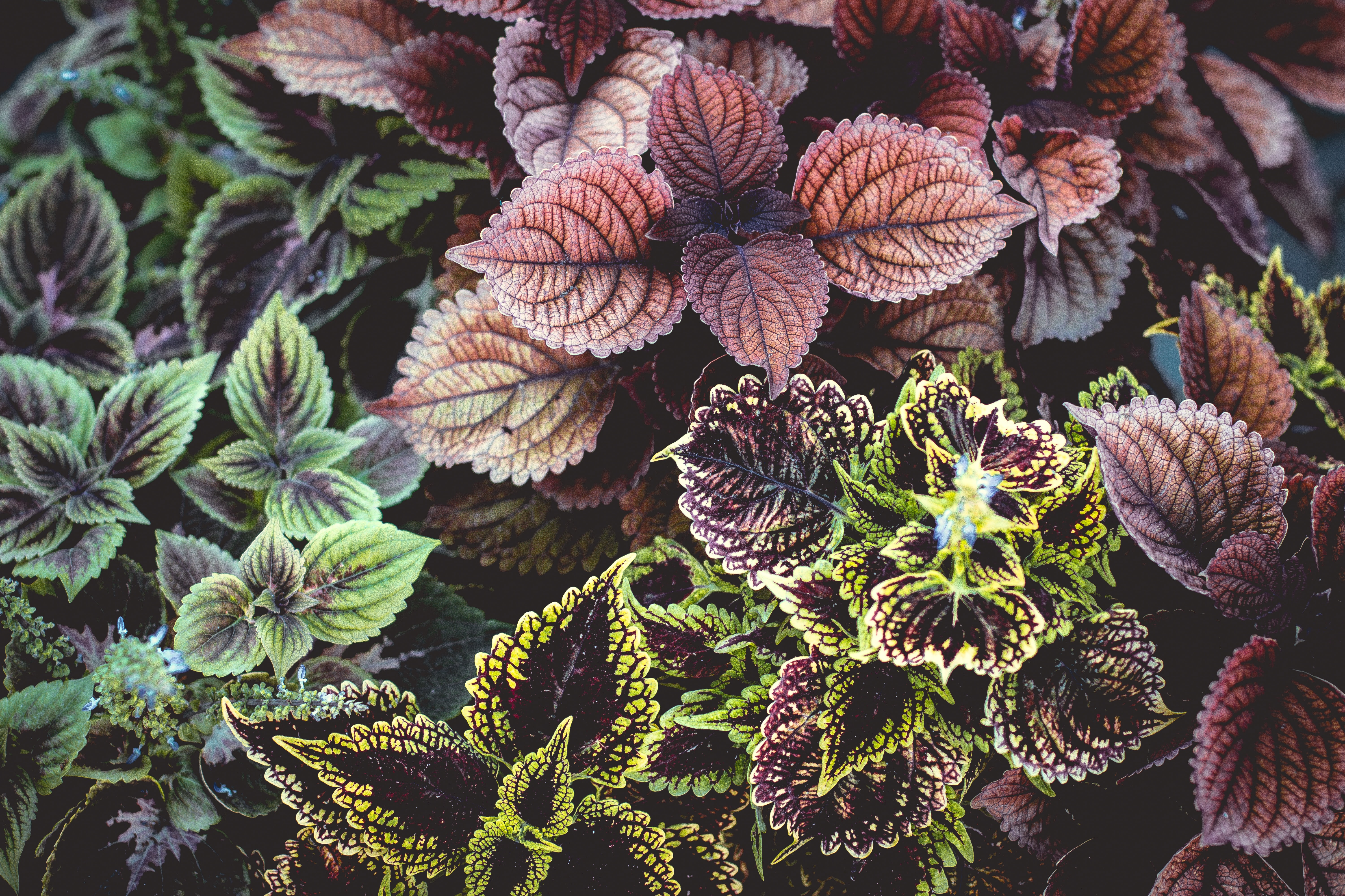 purple and green coleus