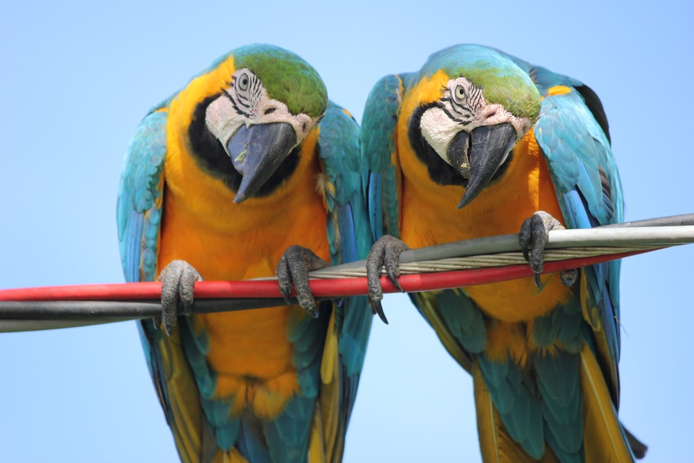 two teal-and-yellow parrots on cable