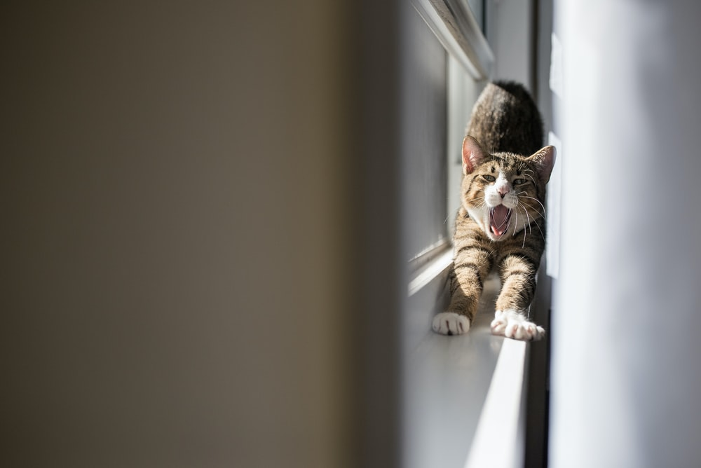 macro photography of cat stretching