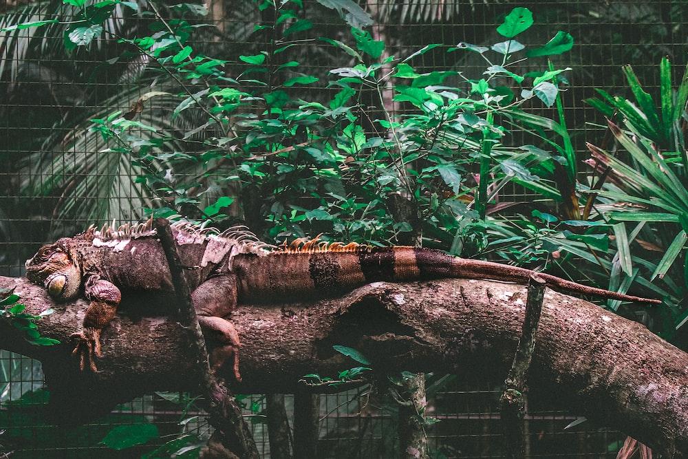 iguana on brown tree trunk