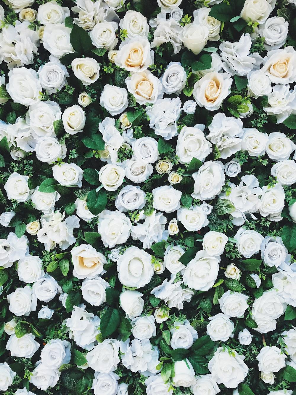 white rose field