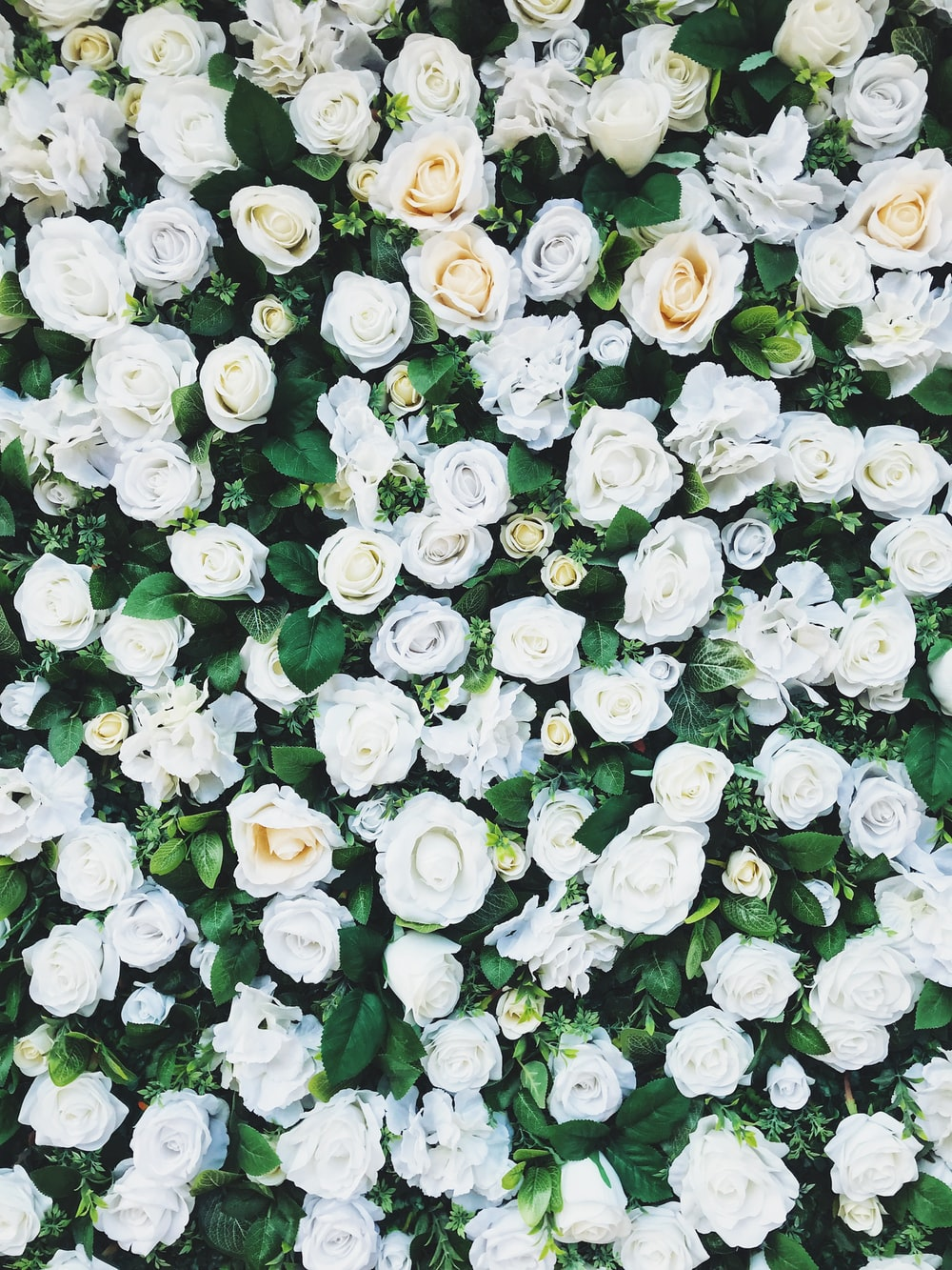 white rose field