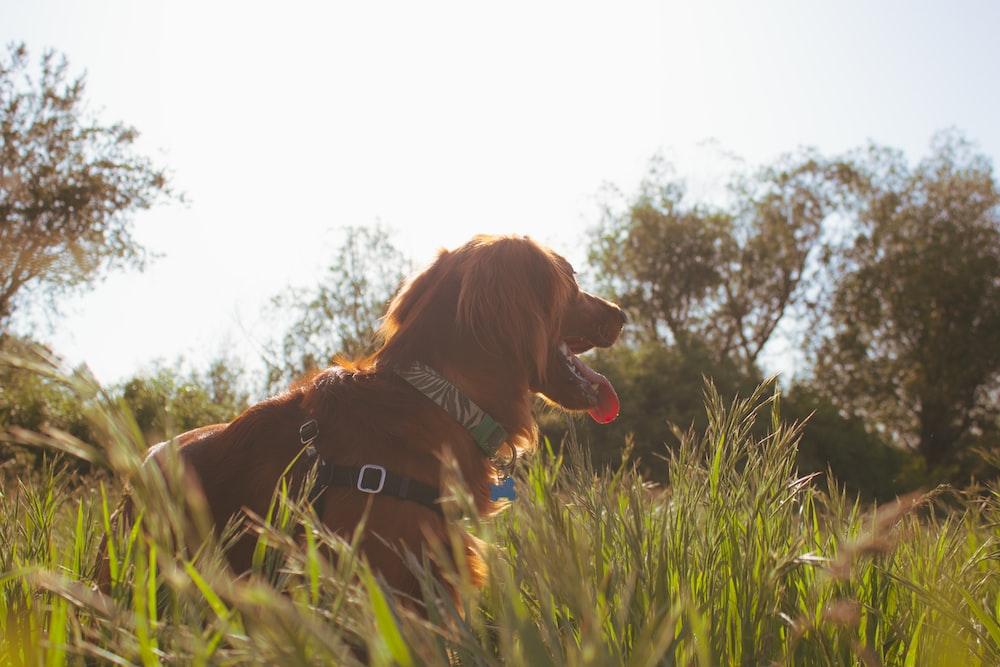 brown dog lying on green grass field