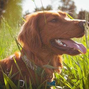 brown dog in grass field