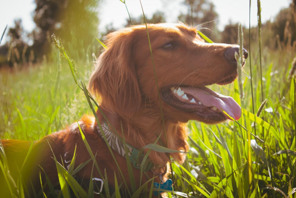 brown dog in grass field