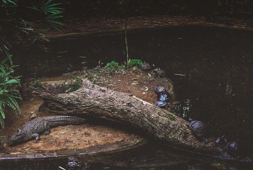 crocodile on wood