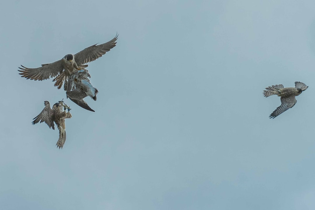 In downtown Kitchener, Ontario, there is a family of peregrine falcons, with three recently fledged chicks. In this photo, the mother is transferring a gull she killed, to a chick, while another chick flies by, missing the transfer.