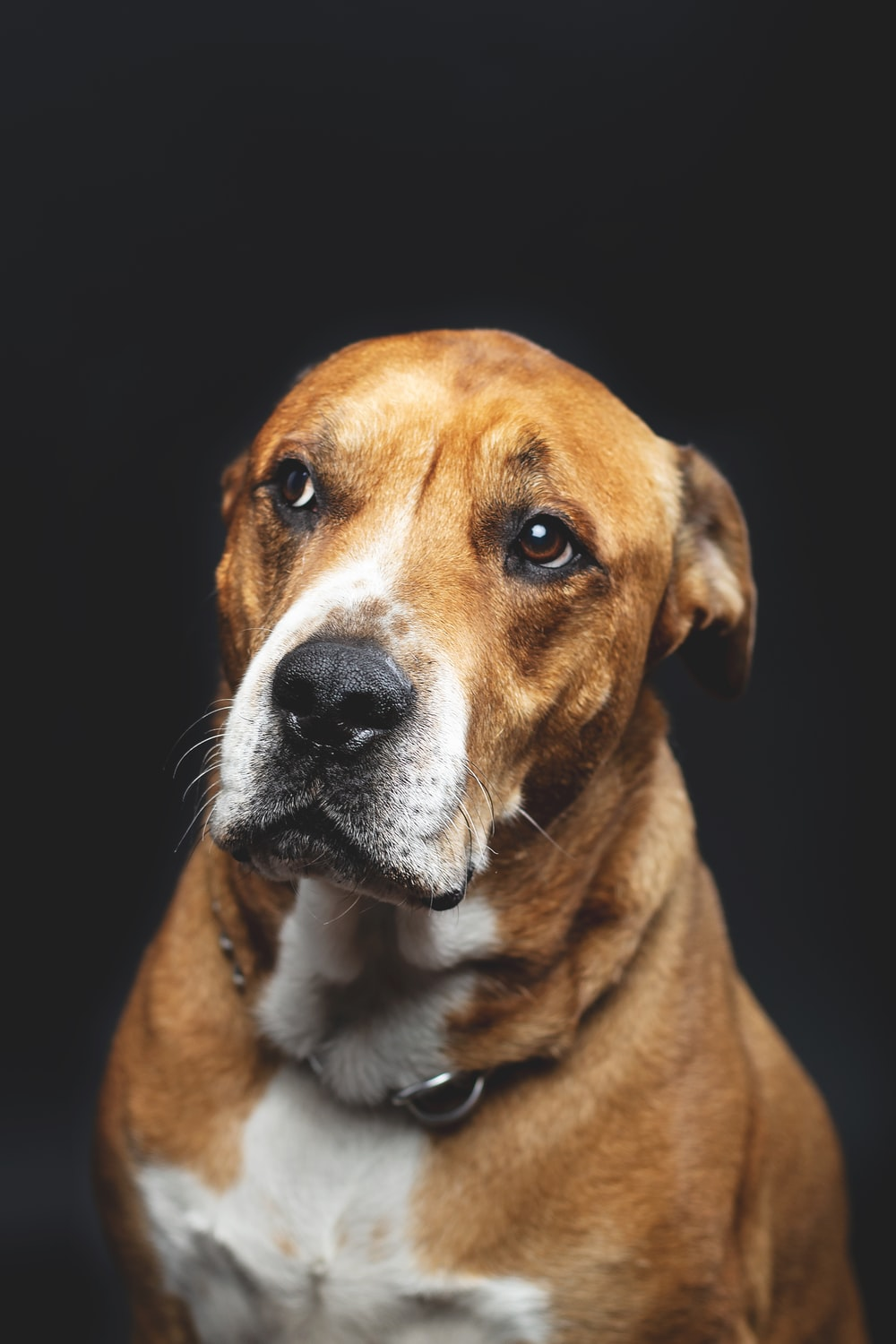 short-coated brown and white adult dog