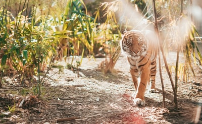 brown tiger in walking gesture
