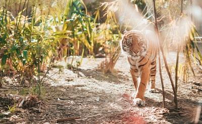 brown tiger in walking gesture