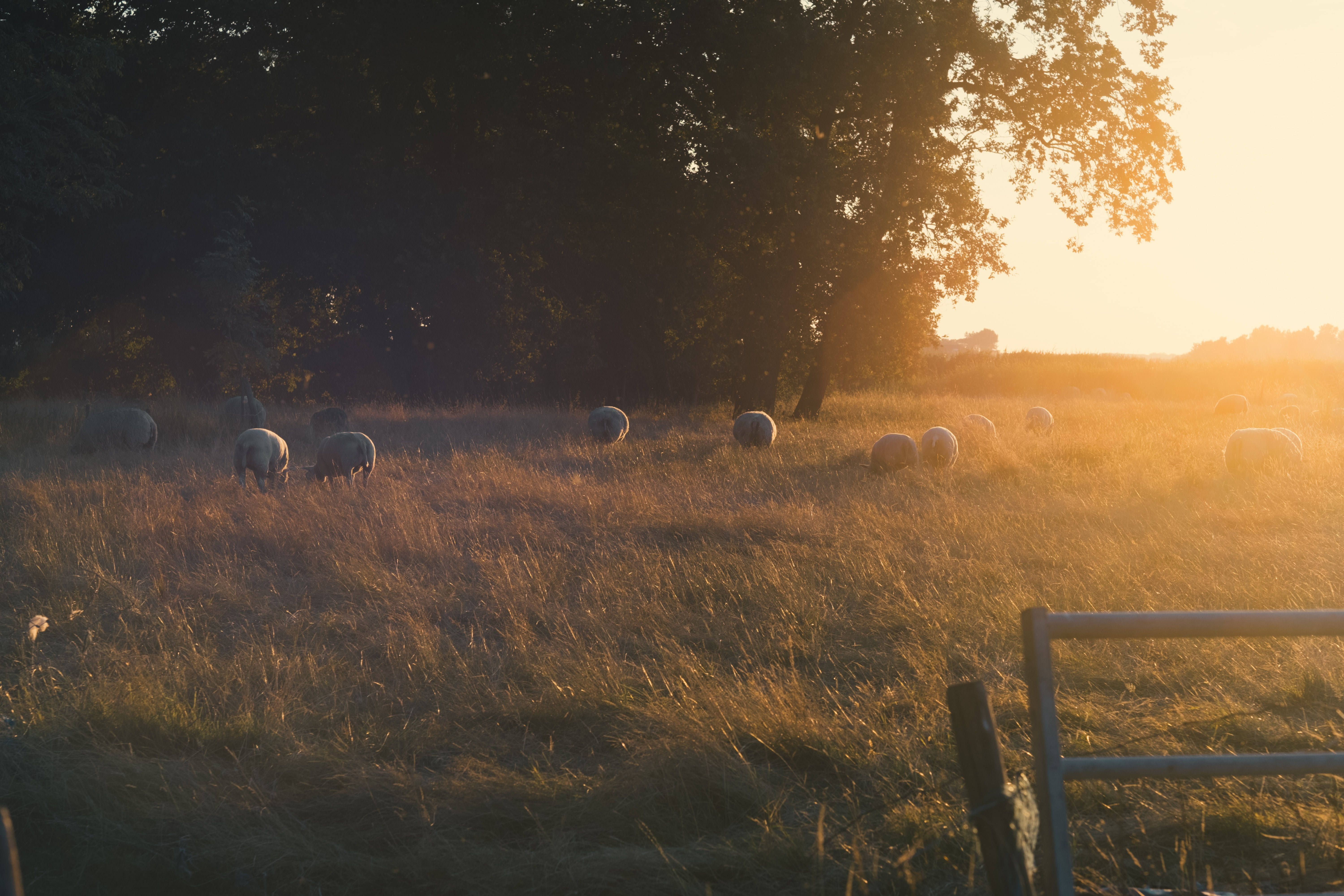herd of pigs on the field during golden hour