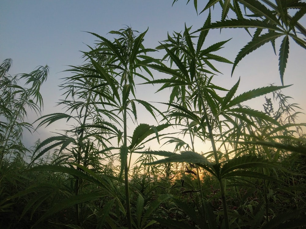 green cannabis plants during daytime