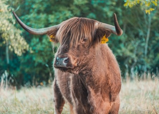 brown cattle