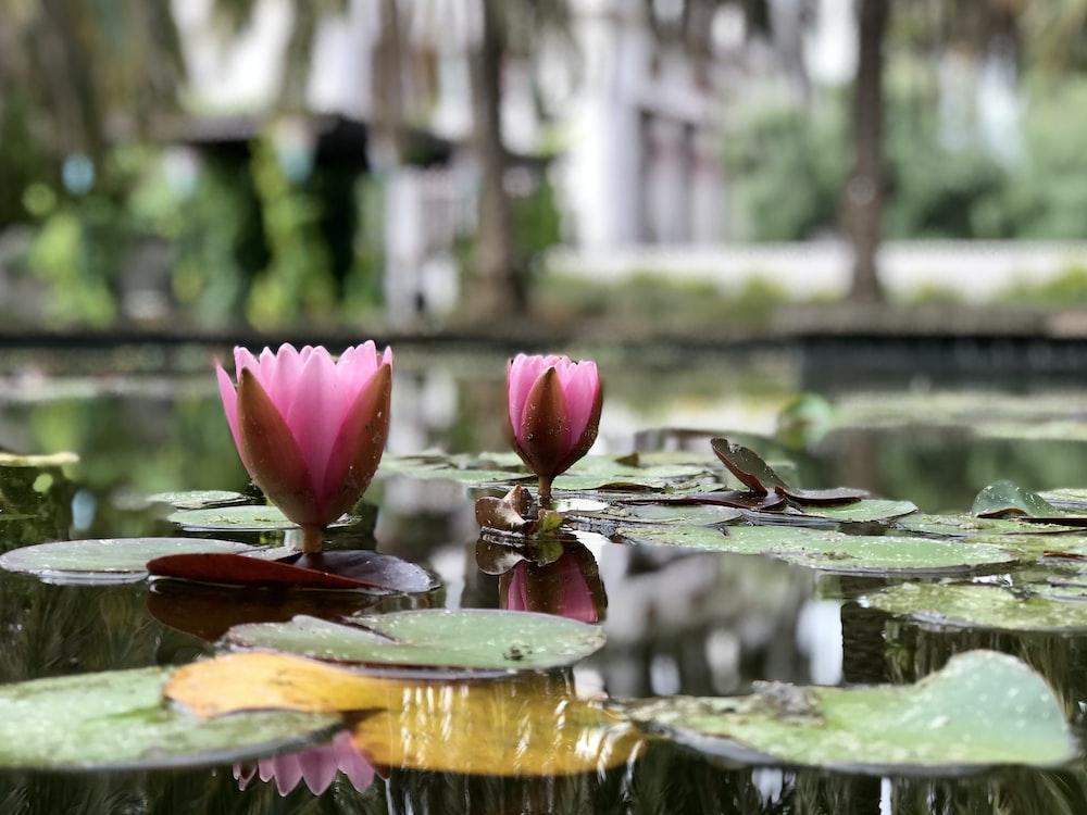pink lotus near trees