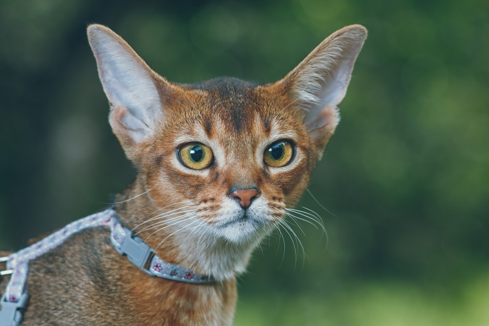 shallow focus photography of short-coated brown cat