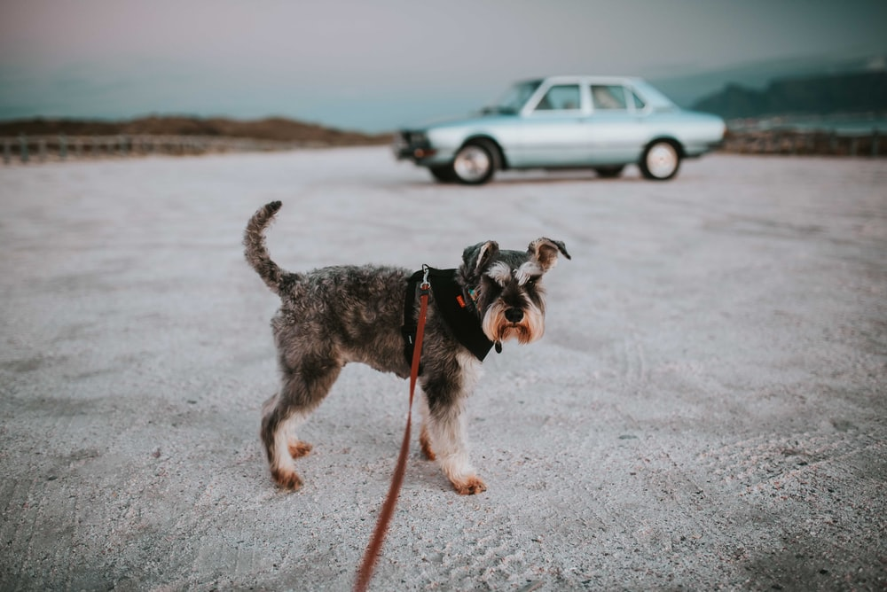 long-coated grey and black dog with leash