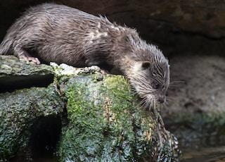 otter standing on rock