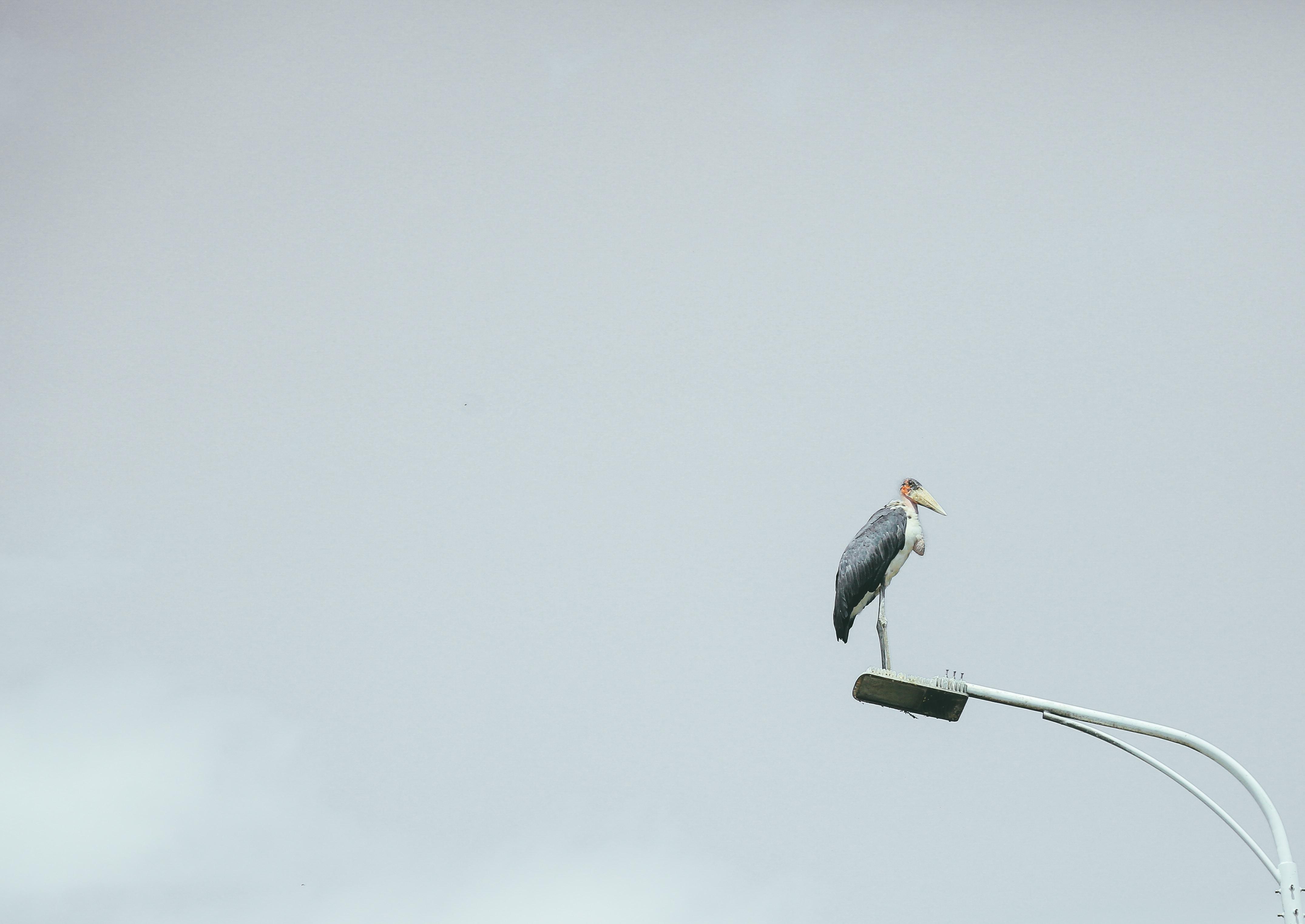 crane bird on utility post