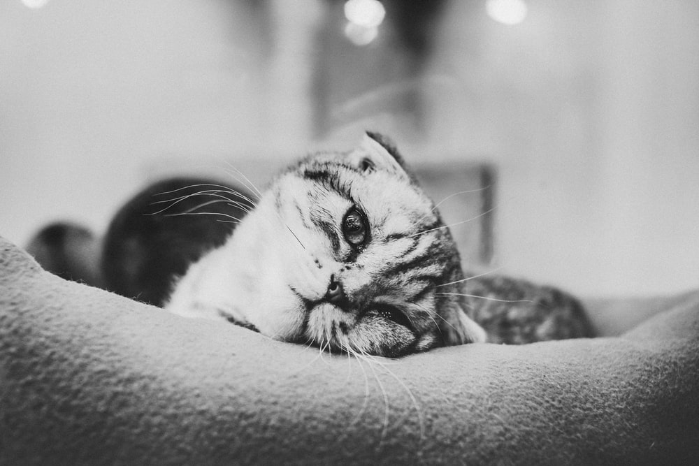 grayscale photo of cat lying on pillow
