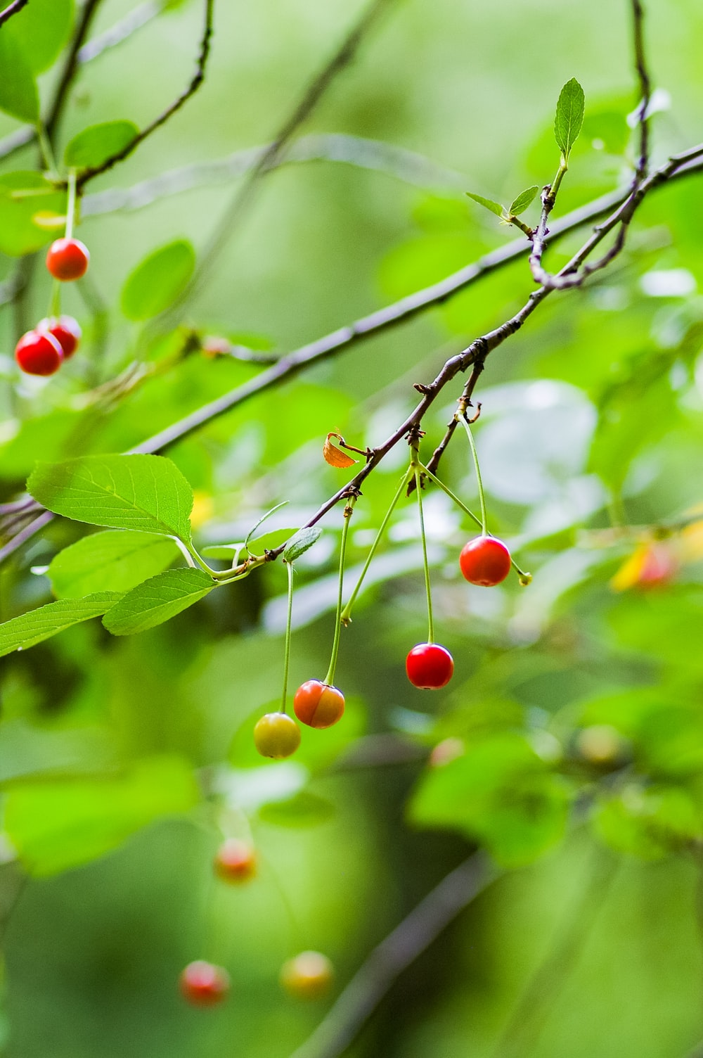 small round red and yellow fruits