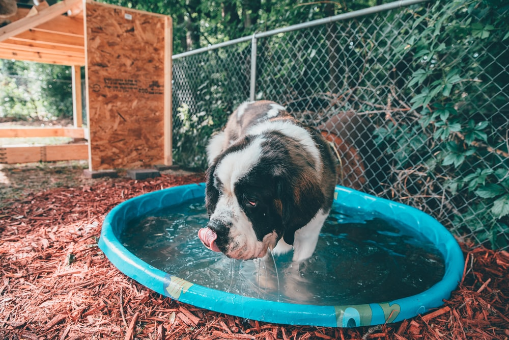 short-coated white and tan dog on blue plastic pool