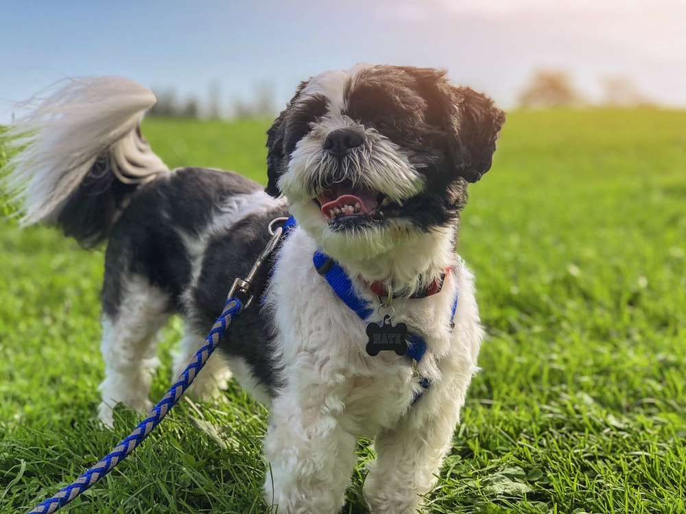 white and brown dog with leash