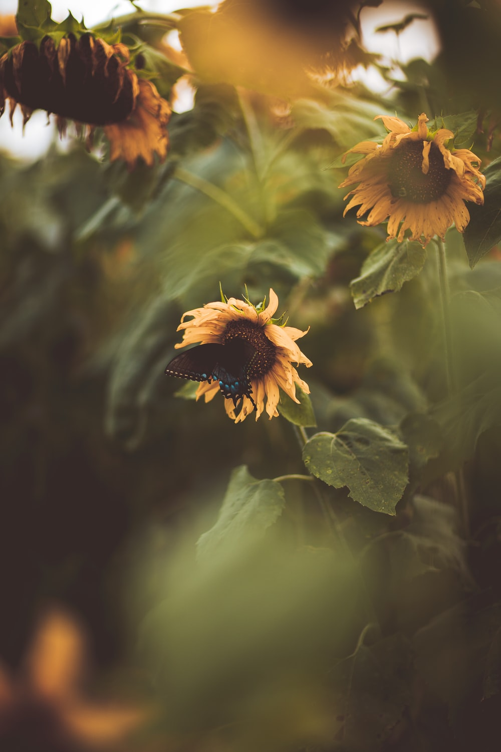 selective focus photography of sunflowers