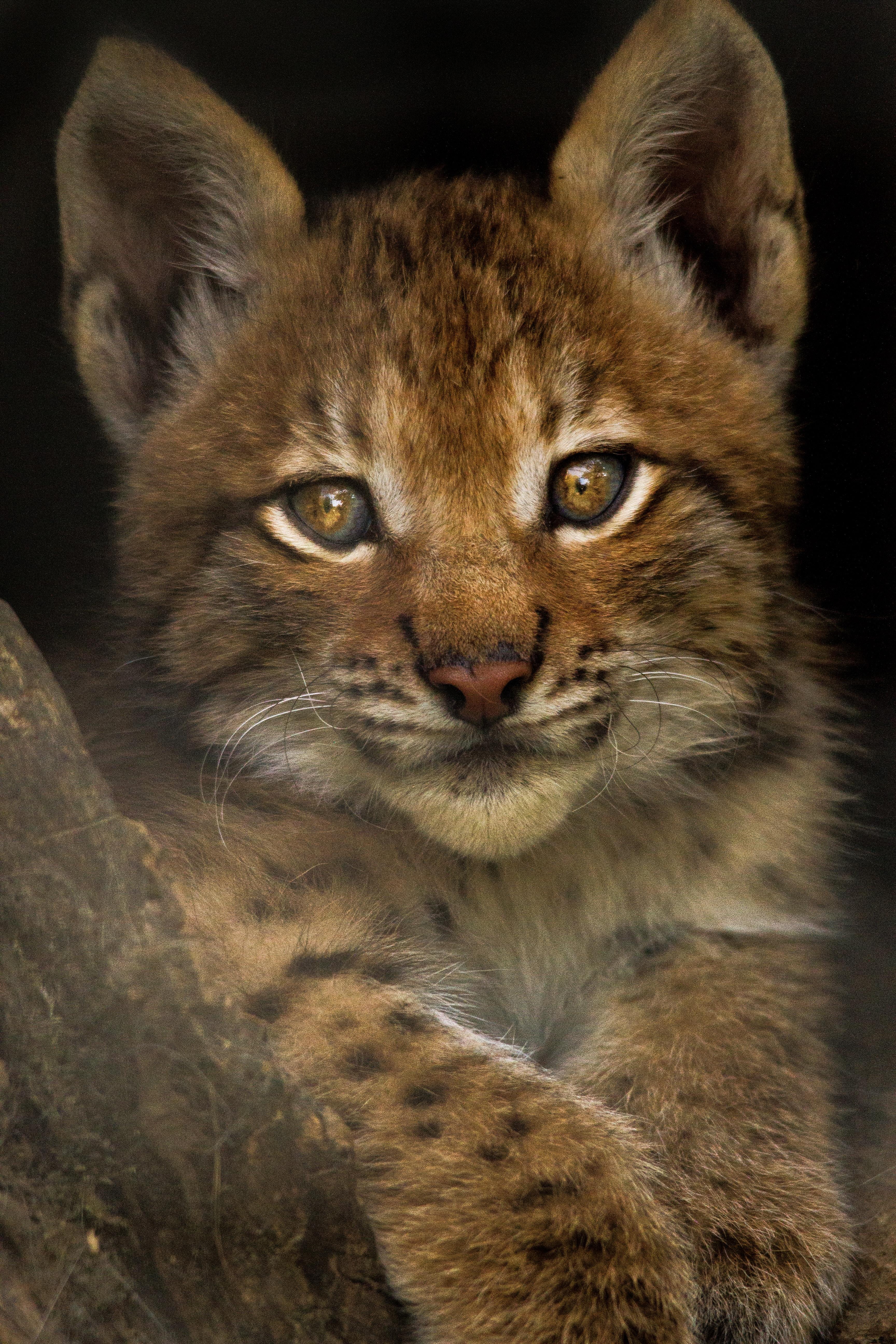Lynx kitten at Skærup Zoo