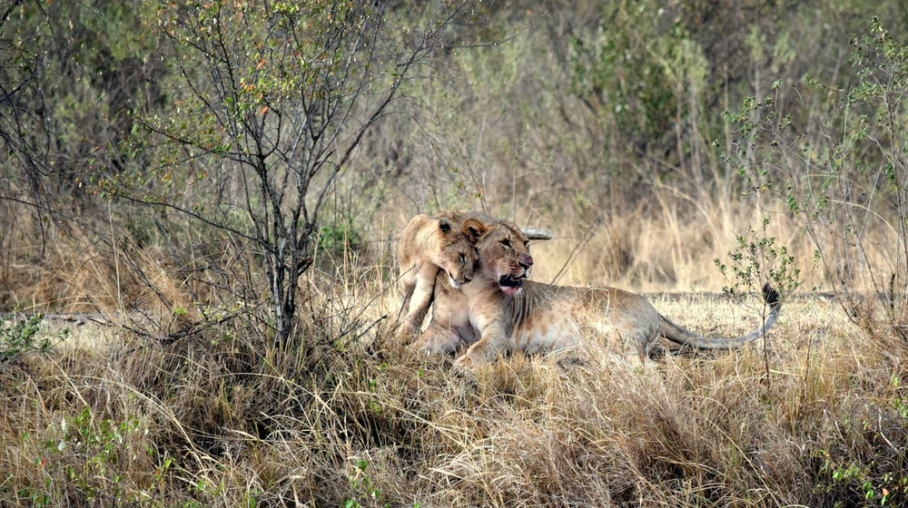lioness and cub sitting on field