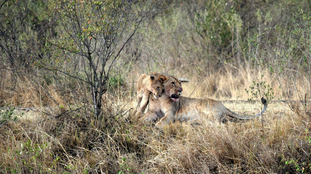 Lioness and Cub After a Meal