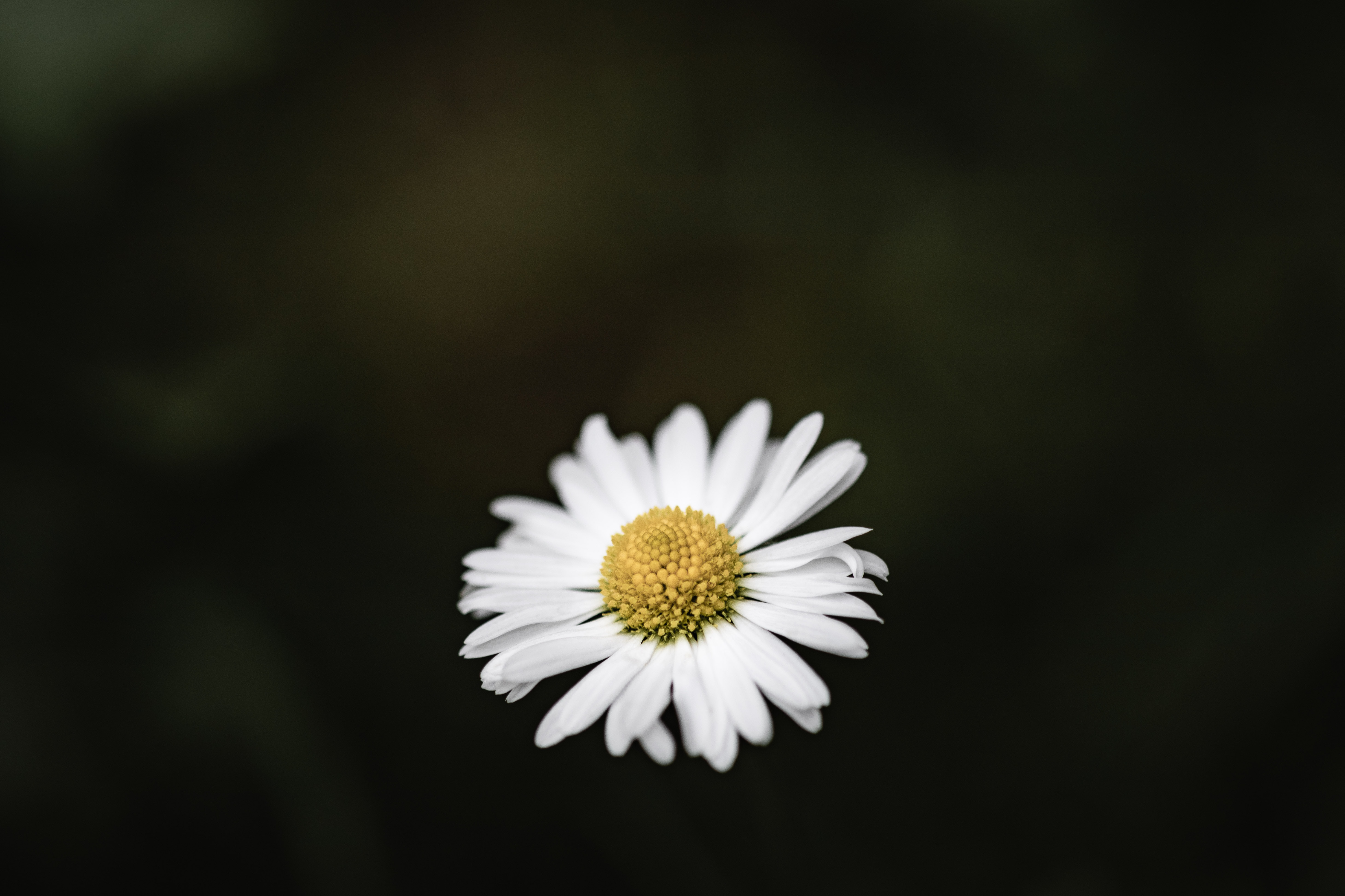 white and yellow daisy flower