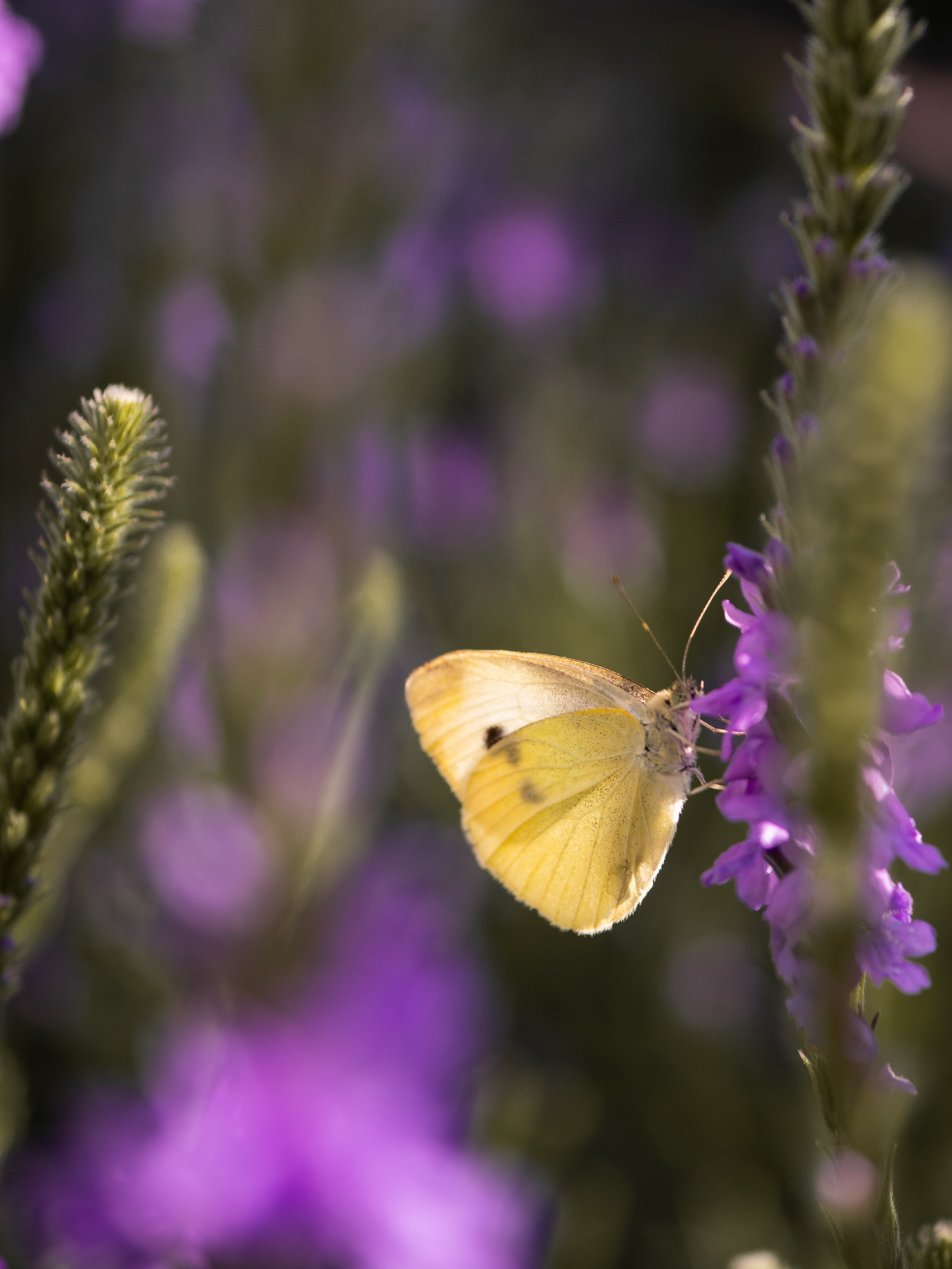 selective focus photography of brown butterfly perched on lavender flower