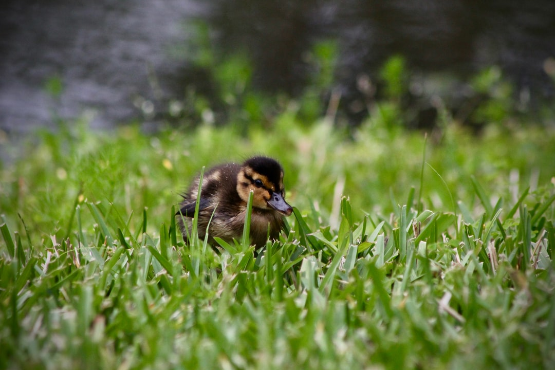 It was April and the ducklings had just begun swimming lessons. I saw them crossing the pond on my morning walk. The walk turned into a sprint as I dashed home to grab the camera just as the ducklings waddled onto the grass on this side of the pond.