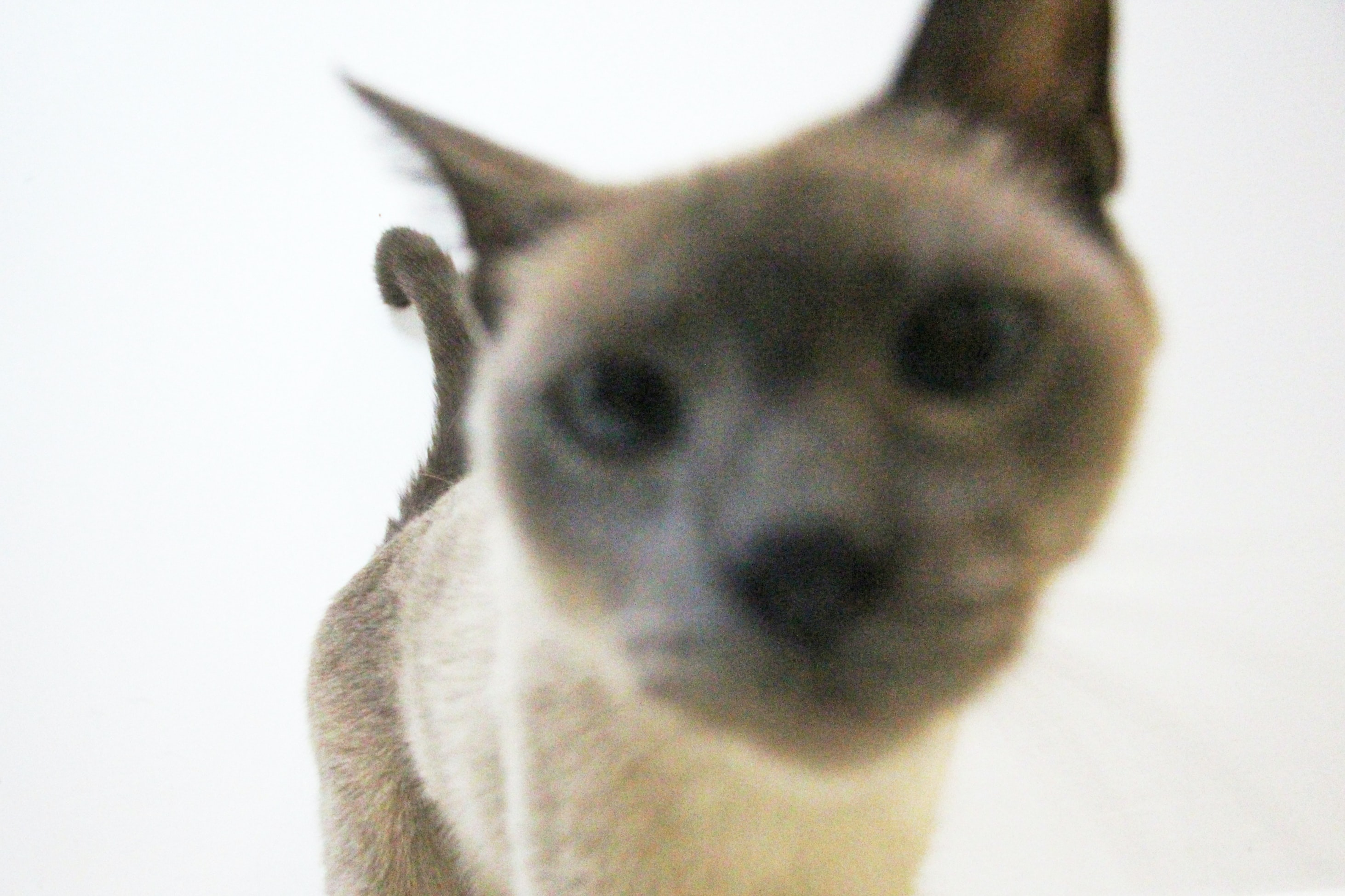 short-coated brown cat