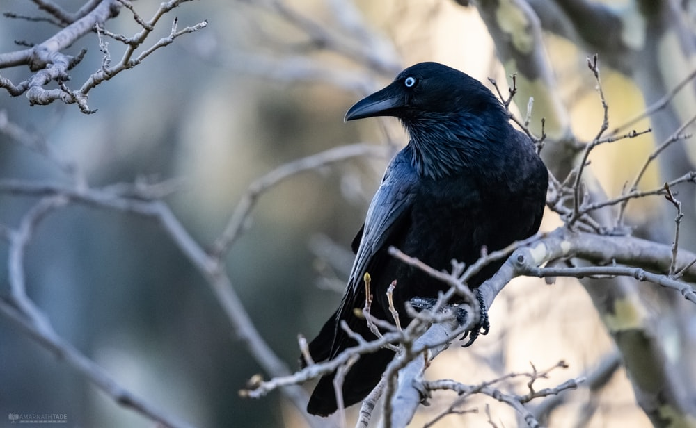close-up photo of black raven bird perch on gray branch during daytime