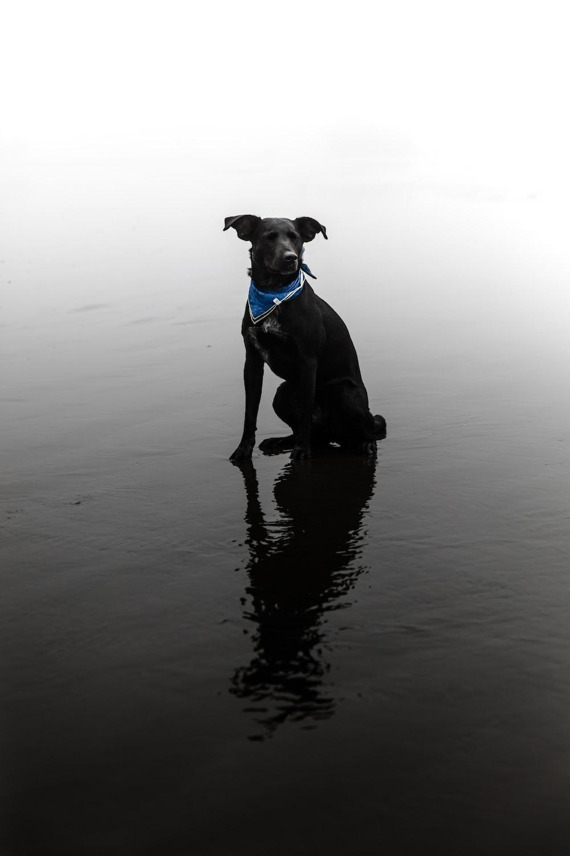 short-coated black dog on water