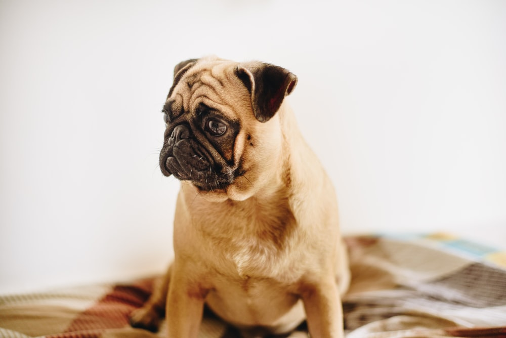 adult fawn pug sitting on couch