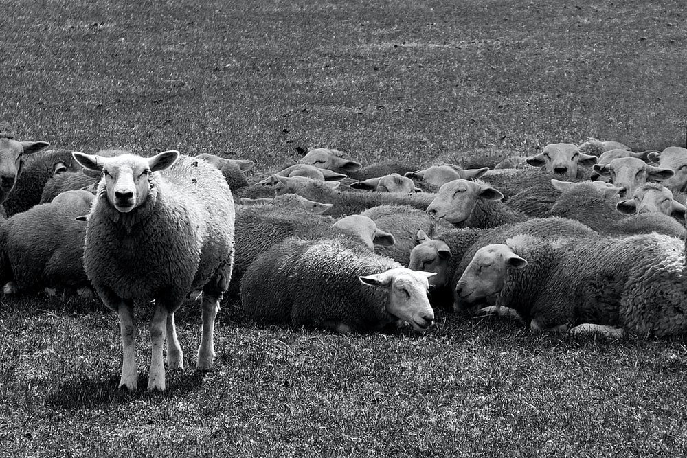 grayscale of sheep on green lawn