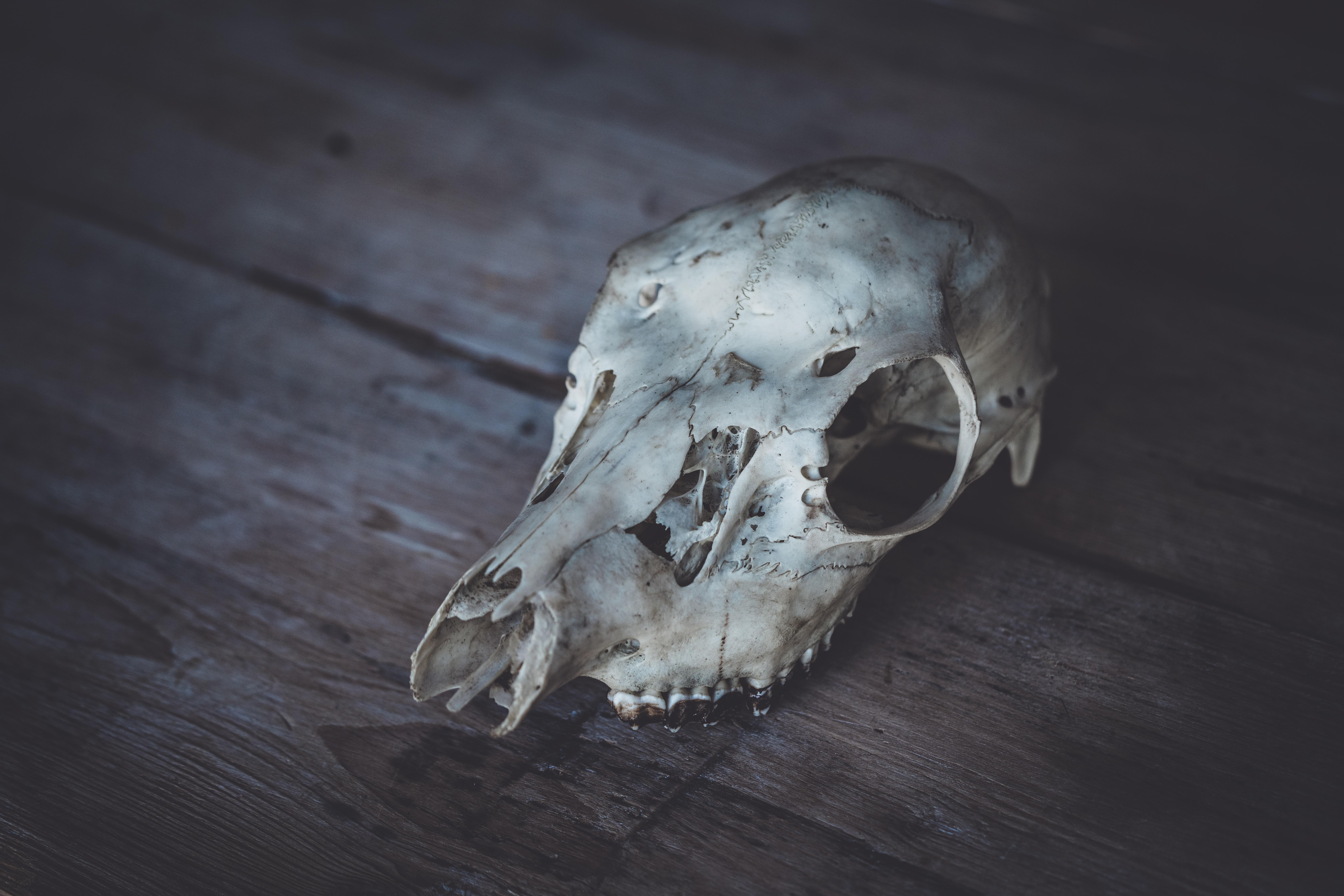animal skull decor