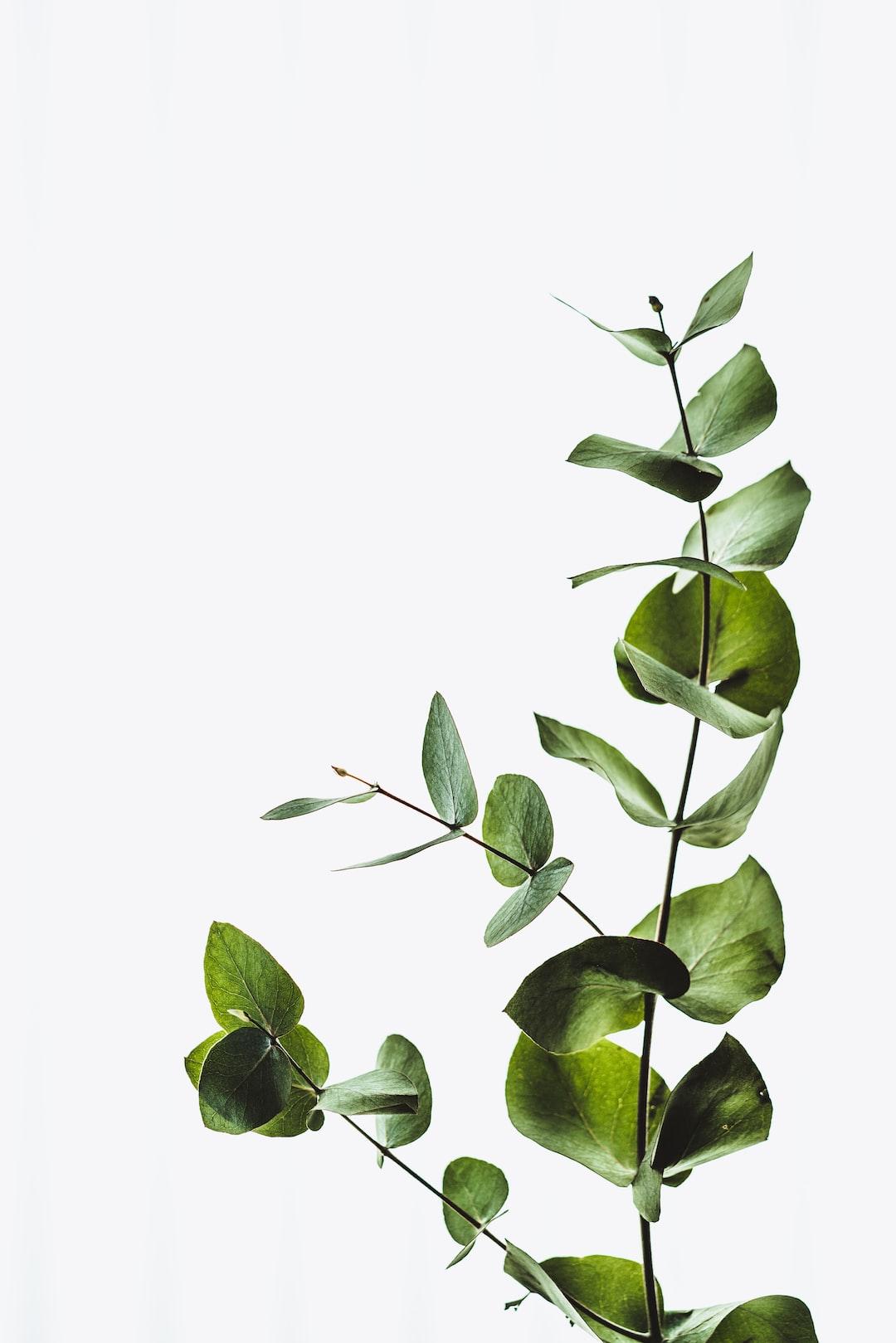 Minimal eucalyptus leaves