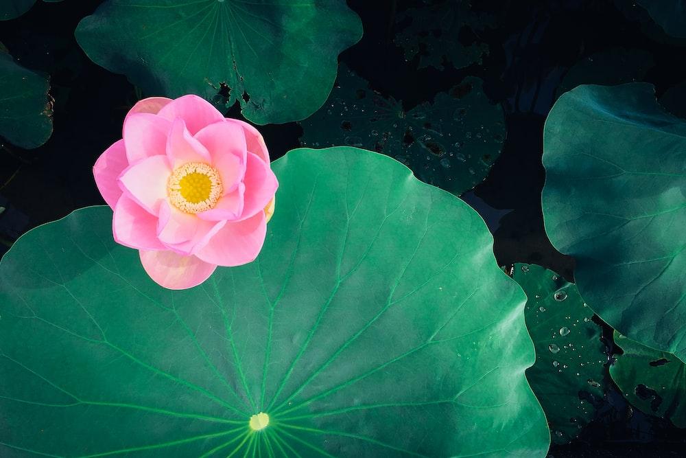 pink flower near green leaf
