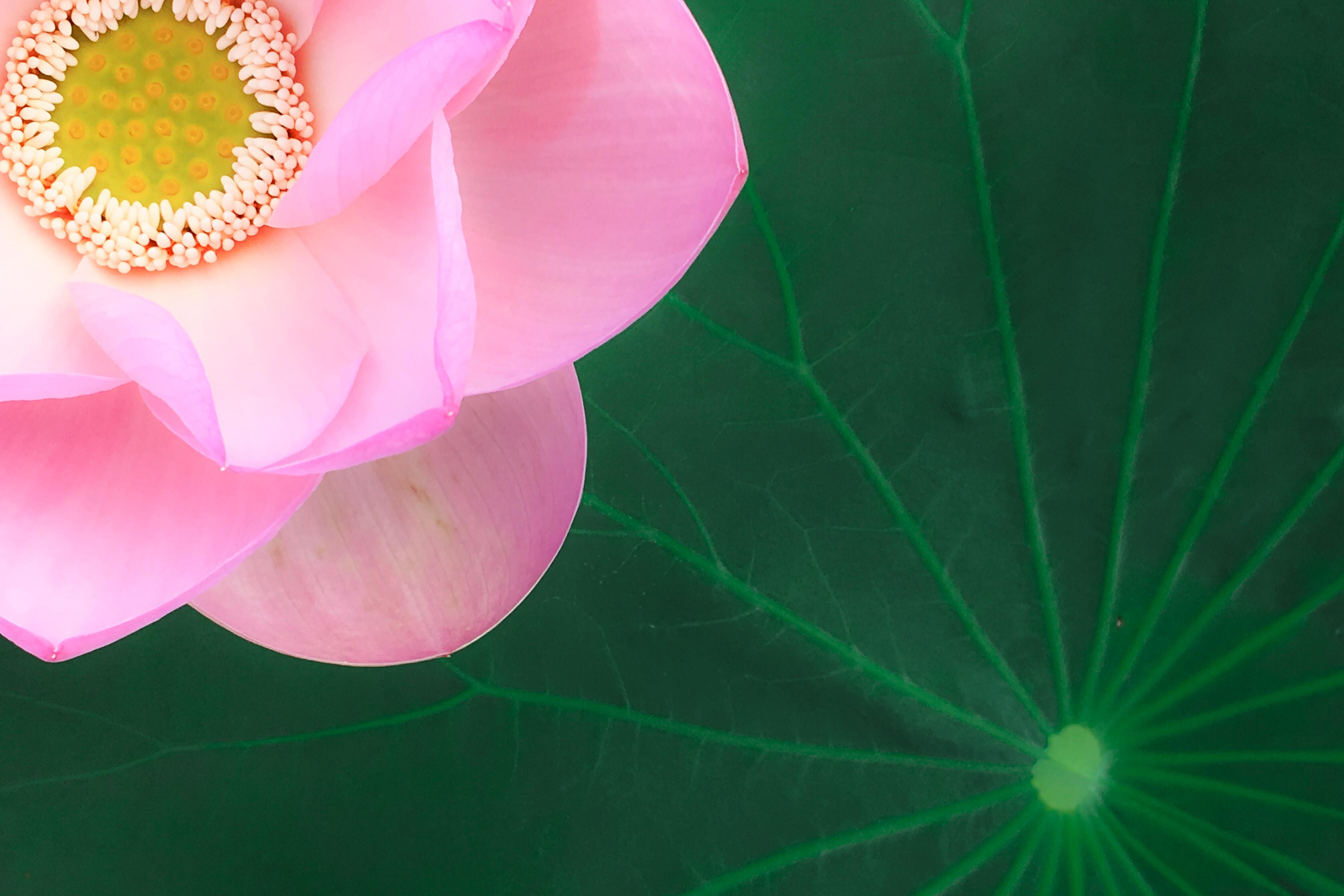 pink flower photo