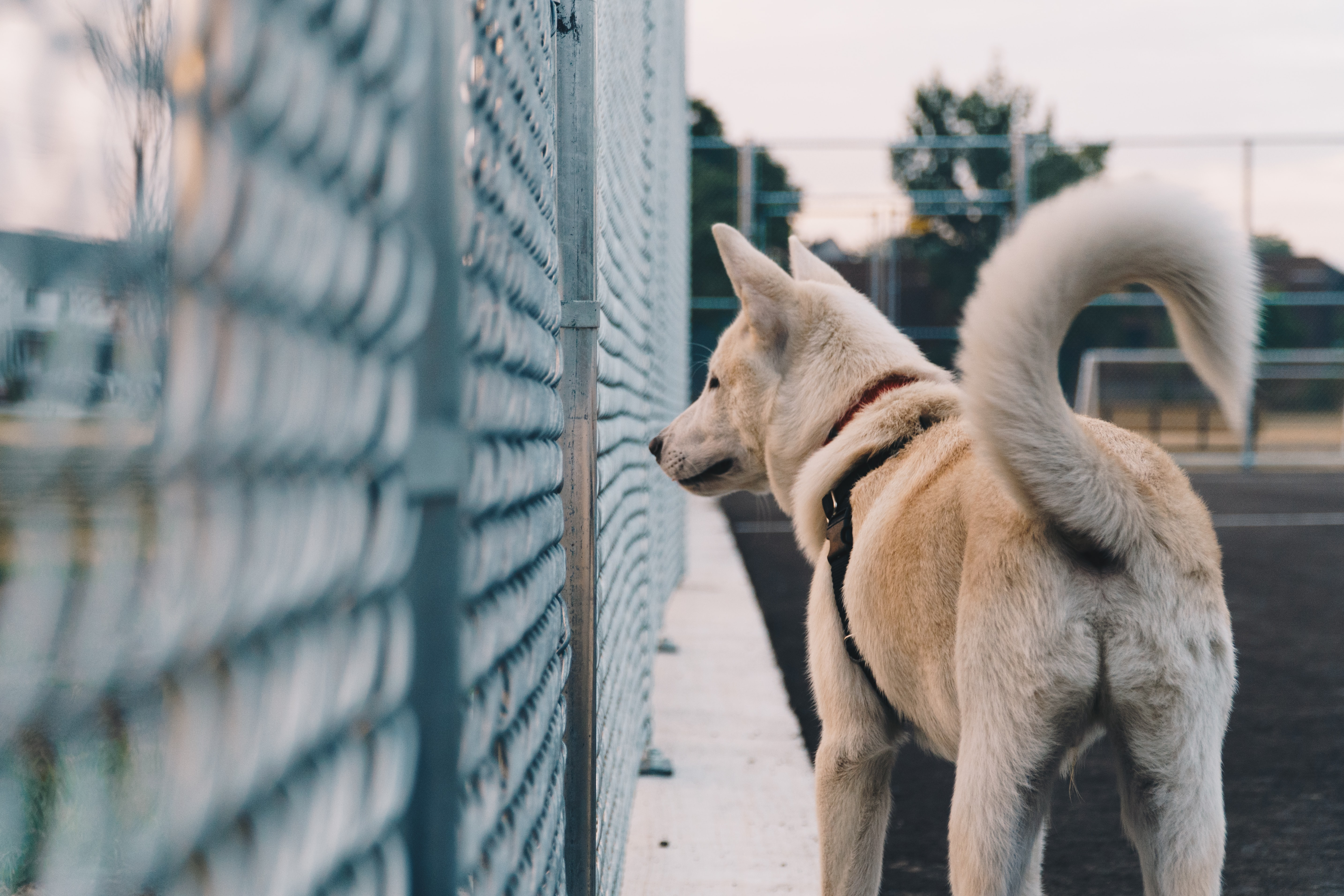 white dog standing beside fence