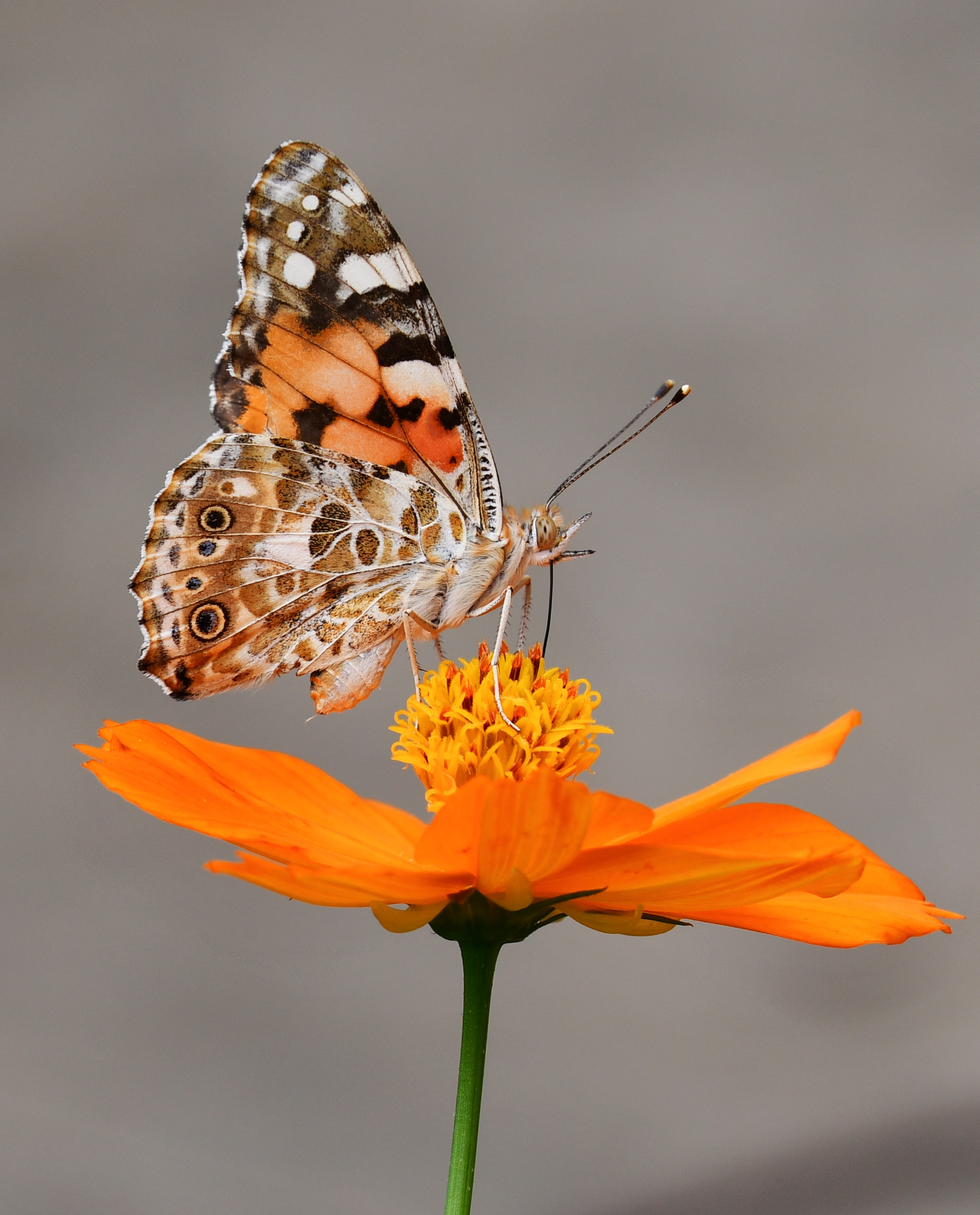 selective focus photography of butterfly on orange petaled flower