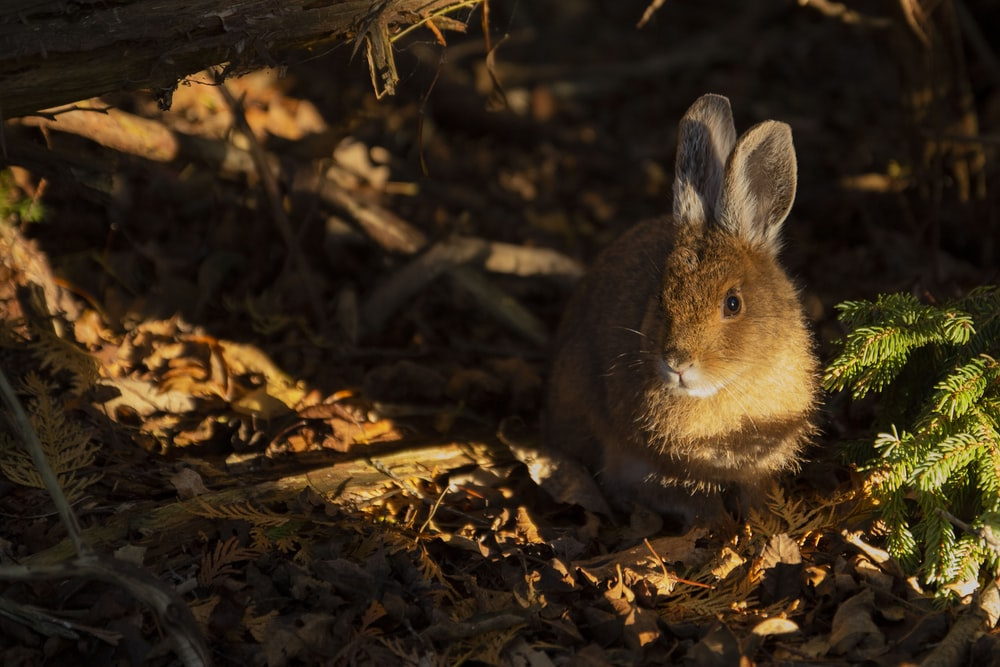 brown rabbit sitting on brown withered leaves