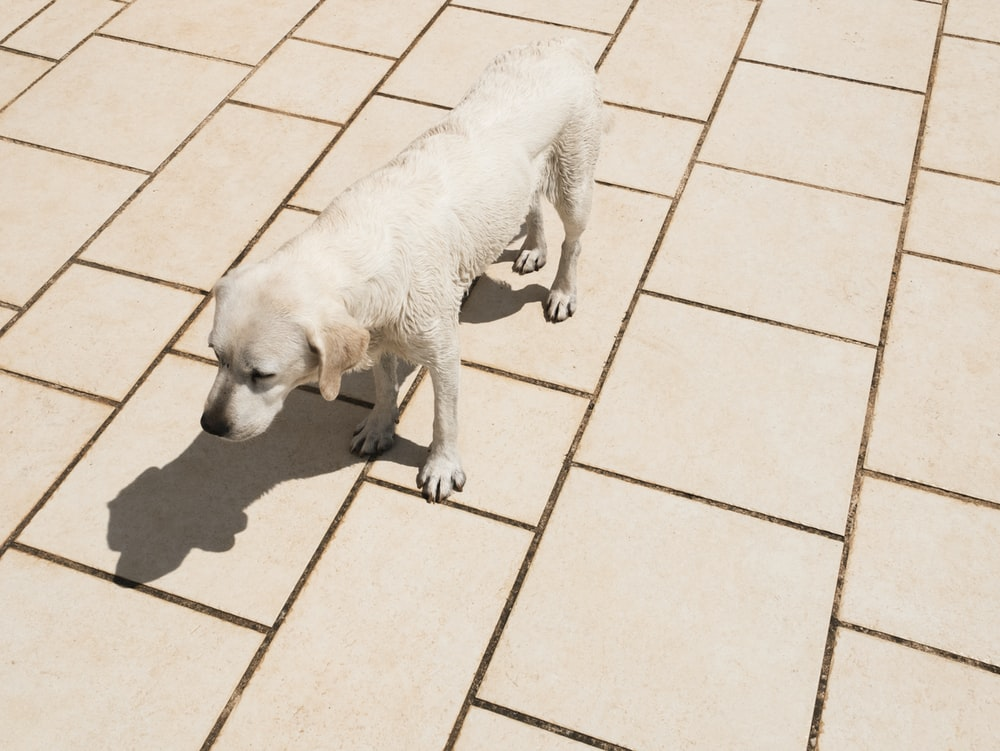 yellow dog standing on ceramic tile