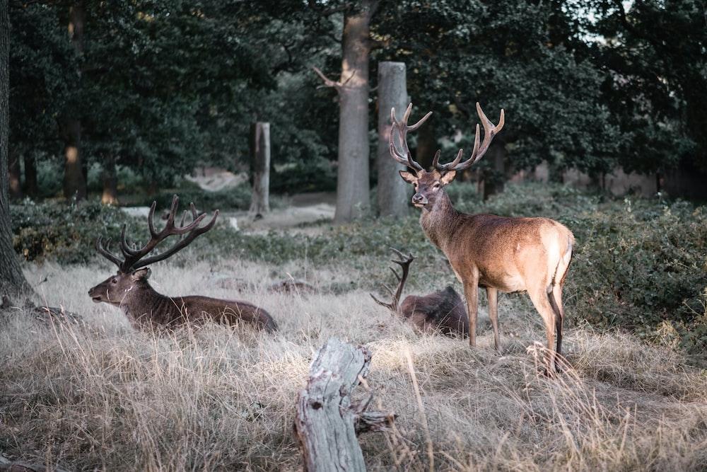 three brown deers on field of grass
